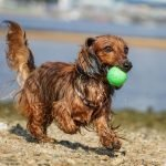My Dog Is Obsessed With Tennis Balls! (And How To Use It To Your Advantage)