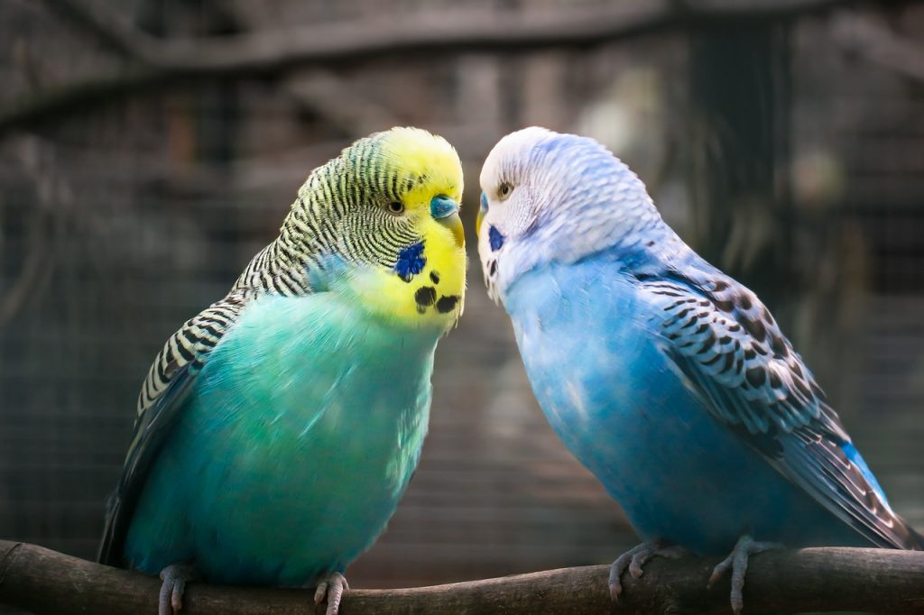 Bourke parakeet vs budgie