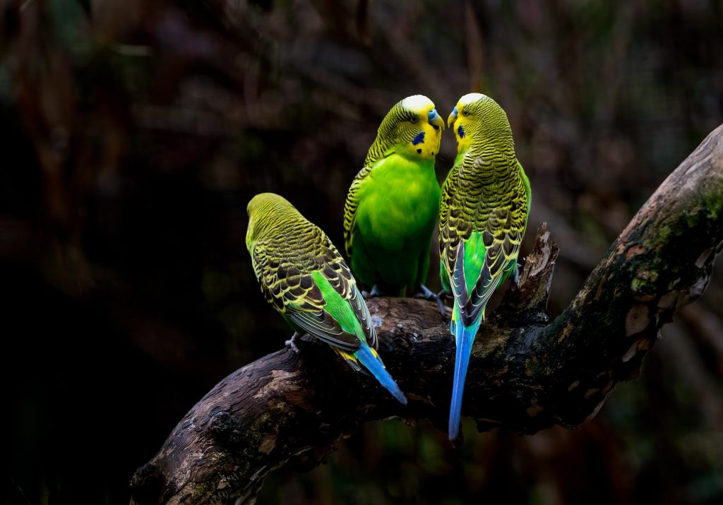 Parakeets Fighting Until They Bleed