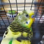 Why Is Budgie Making Whimpering Noises?