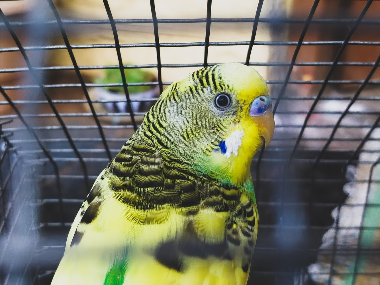 budgie making whimpering noises