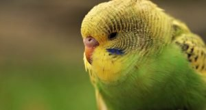 budgie hunched over