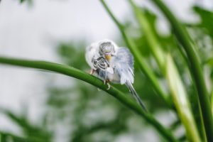 Can budgies survive in the wild