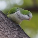 Why are Parakeets Fighting Until They Bleed? (And How to Stop It!)