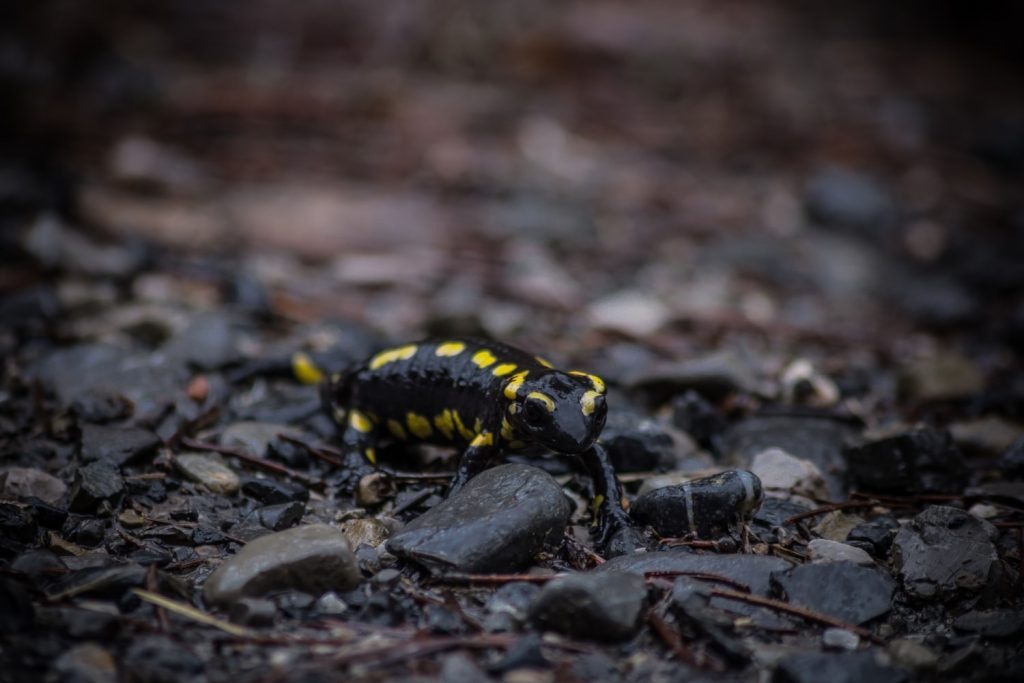 Are salamanders poisonous to dogs