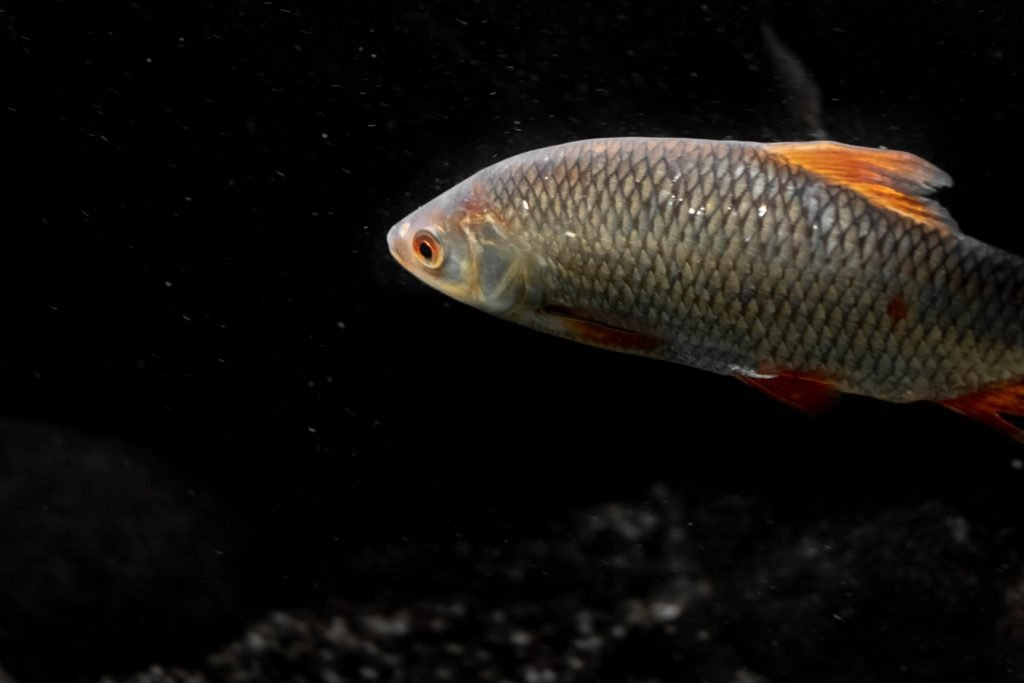 how to euthanize a fish with baking soda