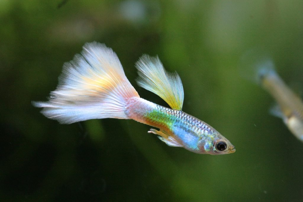 best spawning mop for guppies