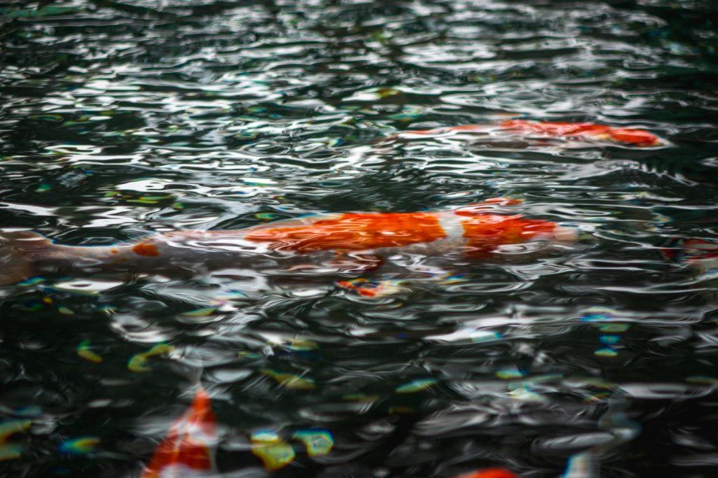 koi flashing after water change