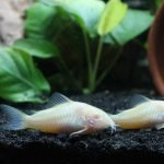 How To Stop Corydoras Barbel Erosion (And What Works Best!)