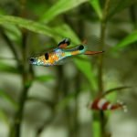 How To Use Indian Almond Leaves For Guppies