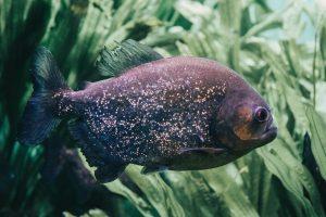 mosquito larvae in fish tank