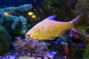 Do glofish need a bubbler