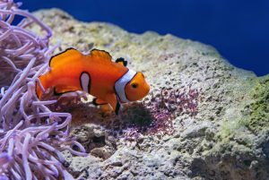 how to acclimate clownfish