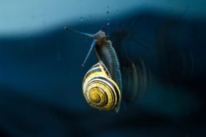 snails in fish tank good or bad