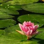 Do Goldfish Eat Water Lilies?