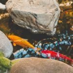Can Koi Fish Live In A Natural Pond?