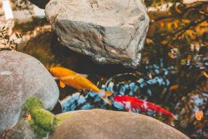 Can koi fish live in a natural pond