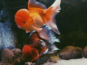 goldfish swollen belly on one side