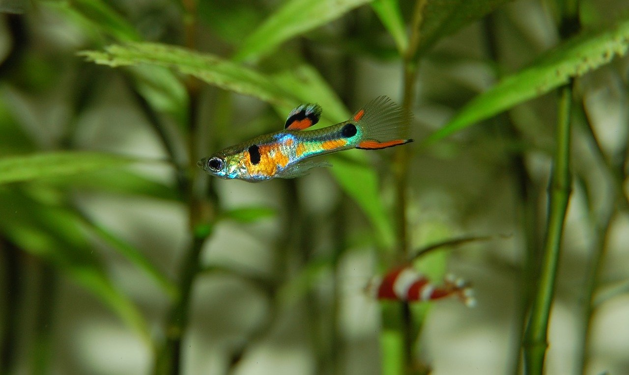 Indian almond leaves for guppies