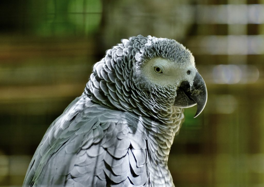 bird collar for African grey