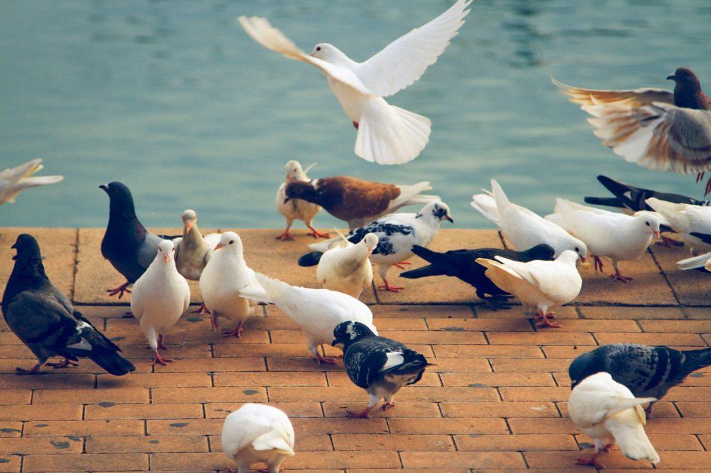 do pigeons explode from eating baking soda