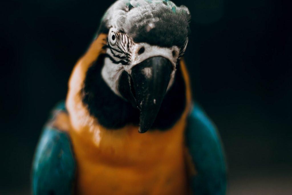 Do chillies make parrots talk