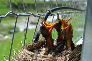 how to know if a baby bird is hungry