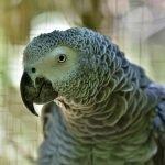 Best Bird Collar for African Grey Parrot