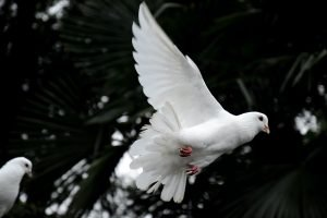 can doves swim