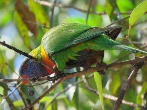 Can parrots eat chicken bones