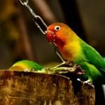Guide On Keeping Lovebirds In An Aviary (And What To Buy!)