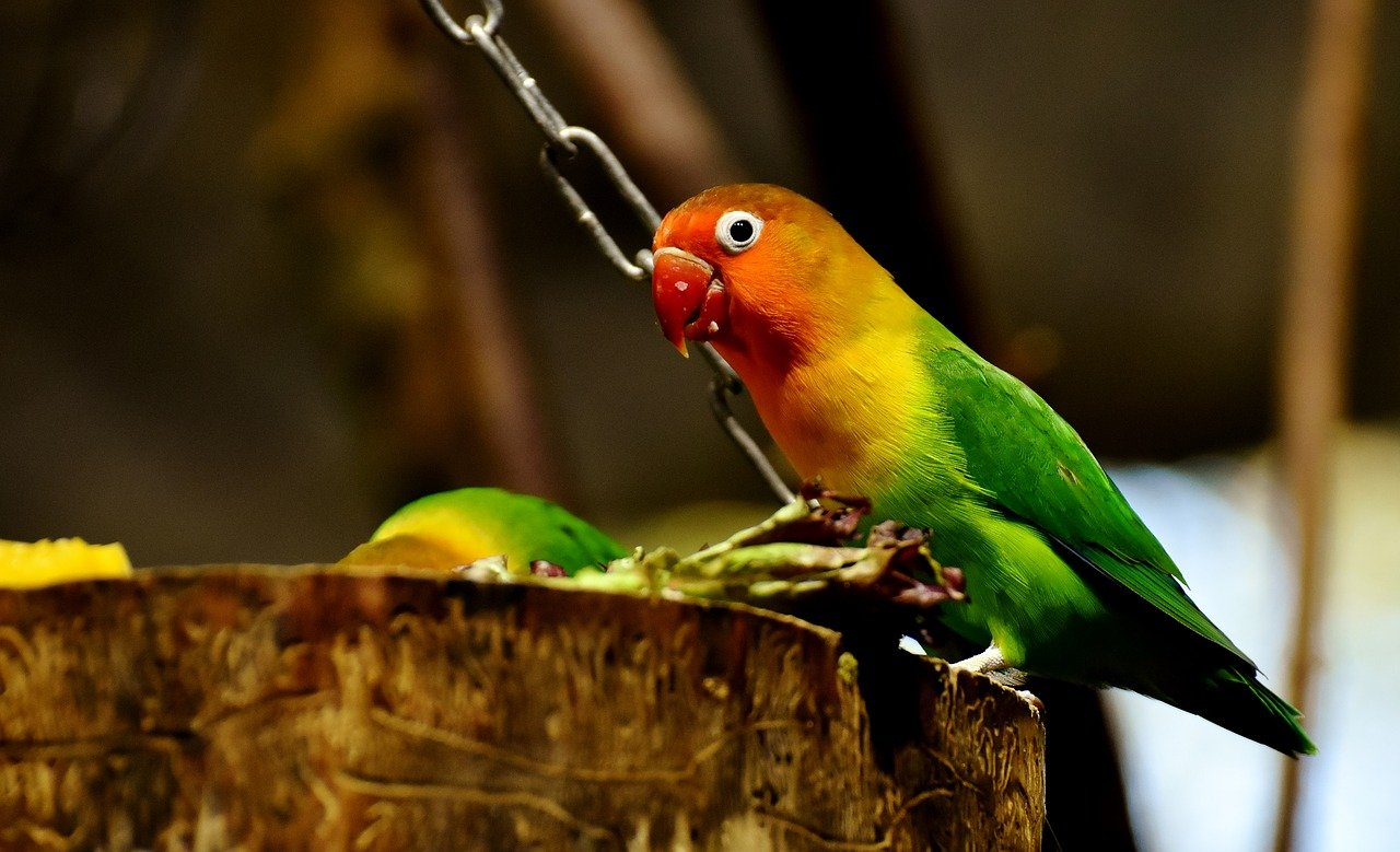 keeping lovebirds in an aviary