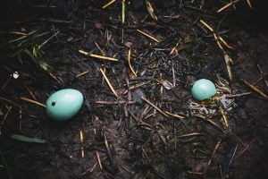 How long can a bird egg live without warmth