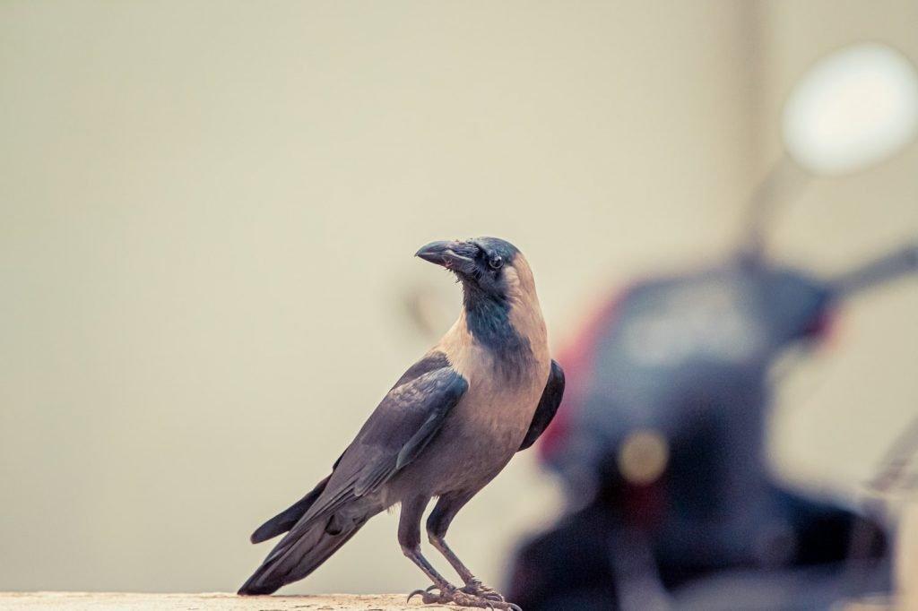 Does peppermint oil deter birds