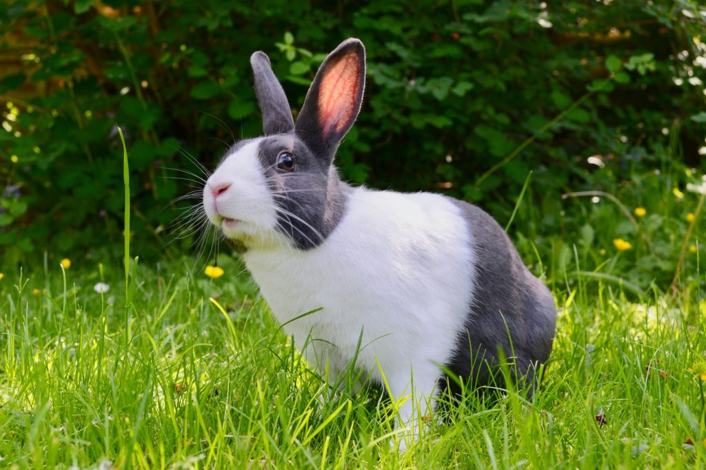 Why do rabbits play leapfrog
