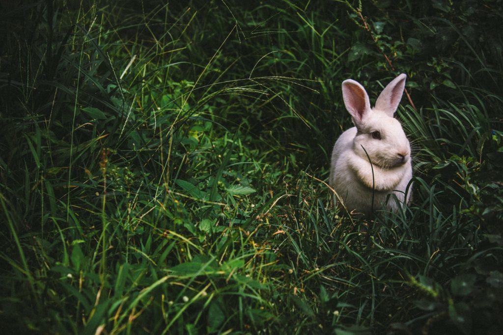 mother rabbit calling her babies