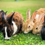 Analyzing a Mother Rabbit Calling Her Babies