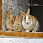 Can Rabbits From The Same Litter Mate?