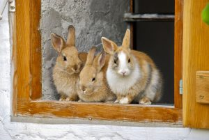 Can rabbits from the same litter mate