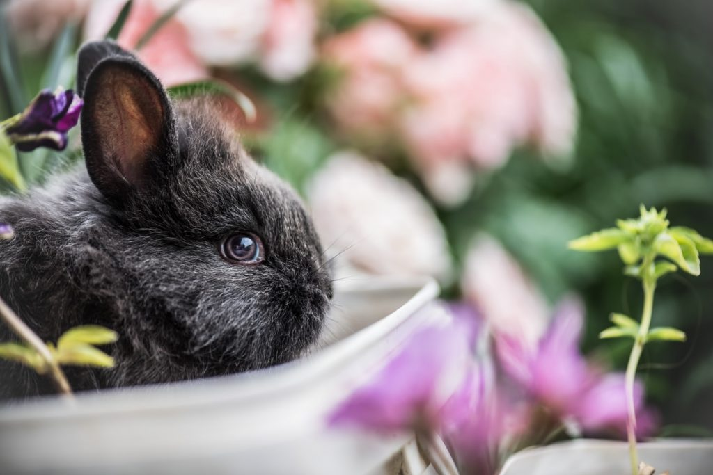 Do rabbits bleed before giving birth