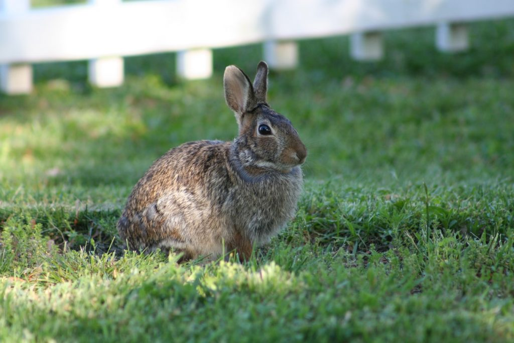 how to induce labor in rabbits