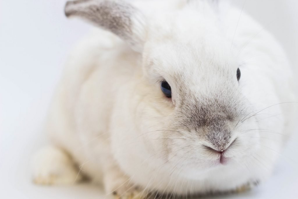 how to clean a white rabbit for show