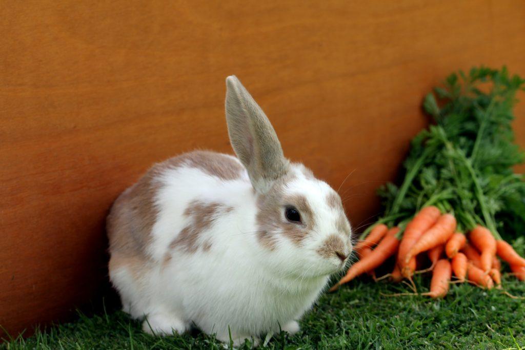 how to clean rabbit poop
