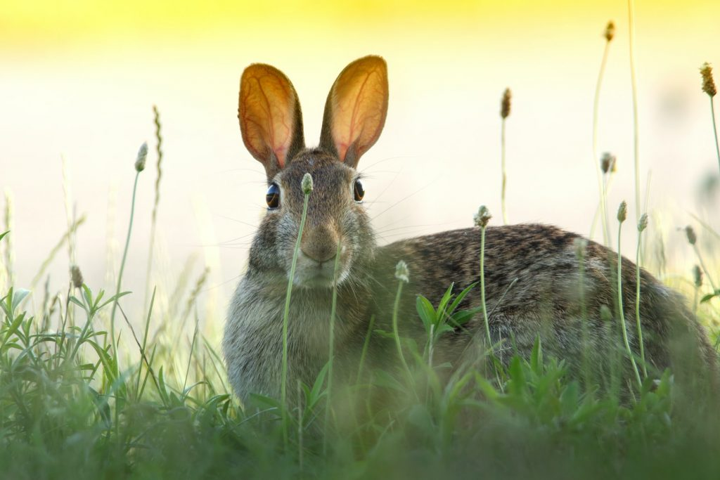Can cottontail rabbits be domesticated