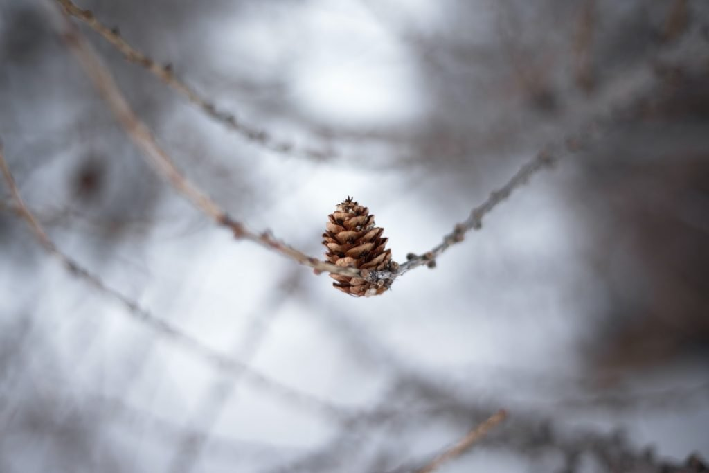 Can rabbits chew pine cones