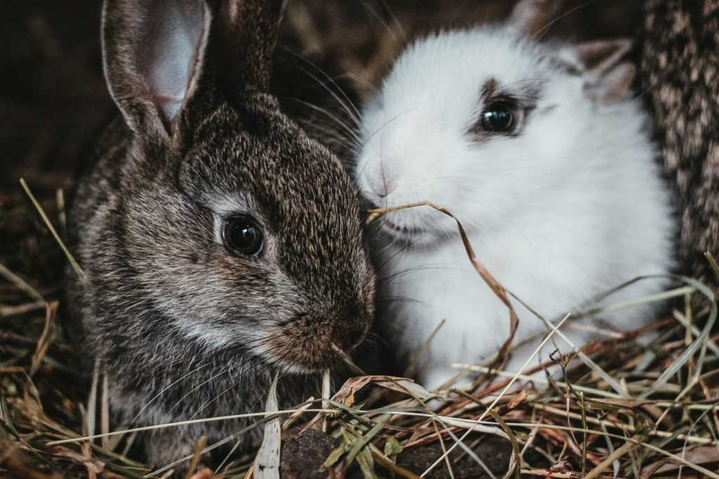 Can two female rabbits live together