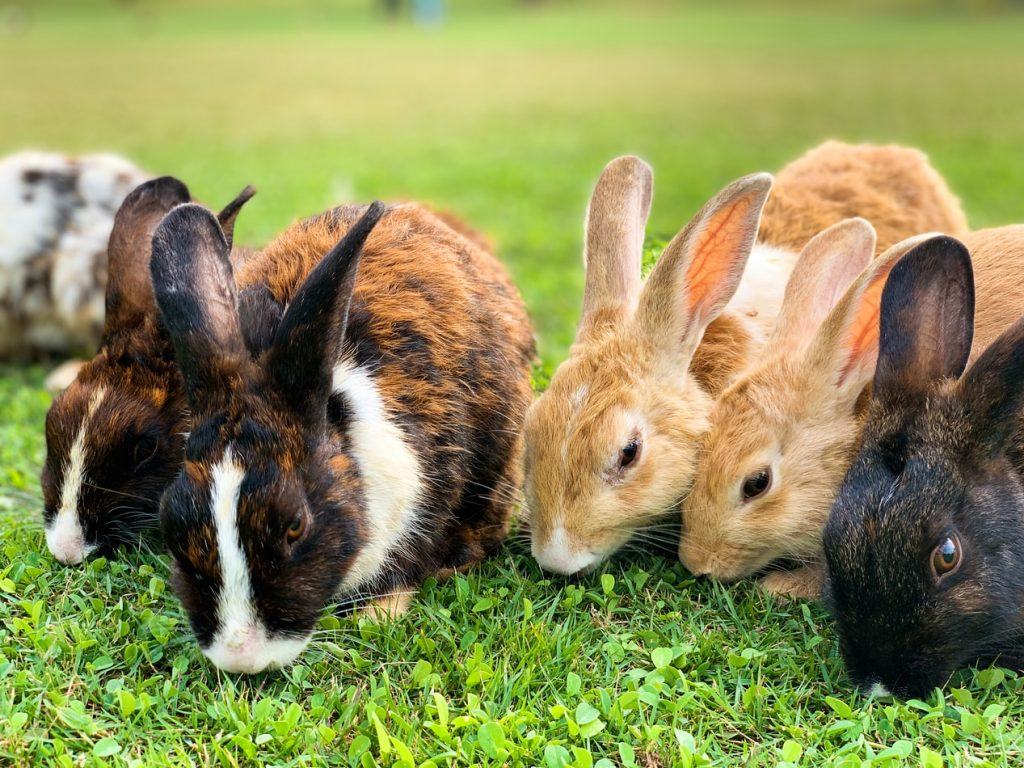 Do rabbits eat dianthus