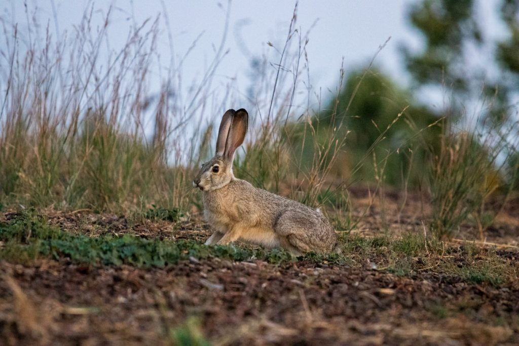 Why do rabbits lay in their poop