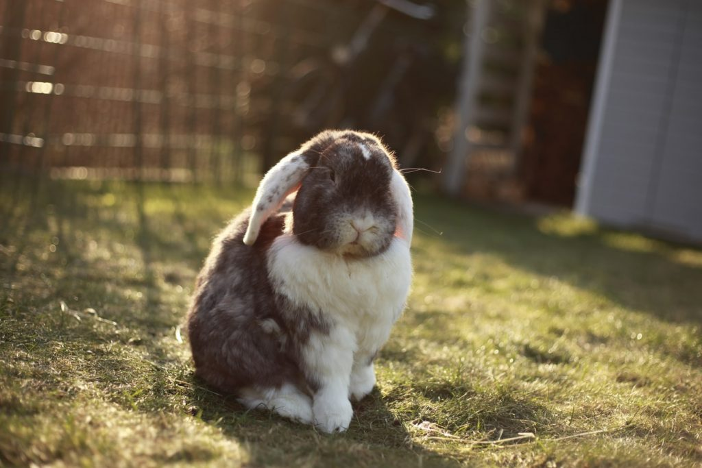 Can rabbits get pink eye from humans