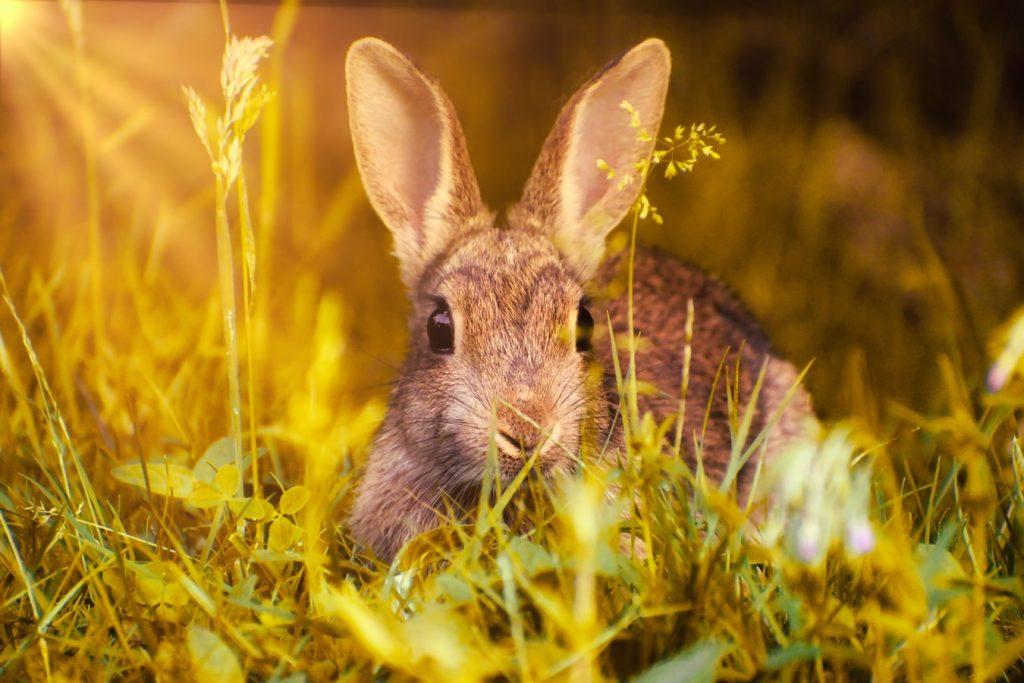 can rabbits cough
